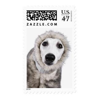 Whippet dog wearing fur coat, studio shot postage