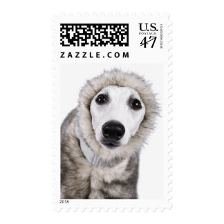 Whippet dog wearing fur coat, studio shot postage stamp