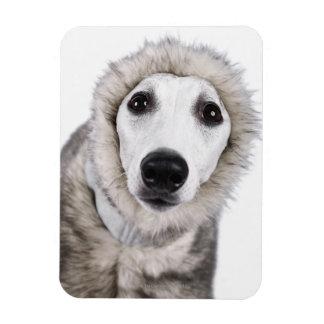 Whippet dog wearing fur coat, studio shot rectangular photo magnet