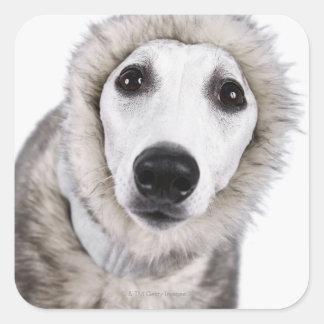 Whippet dog wearing fur coat, studio shot square sticker
