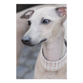 Whippet lindo impresiones