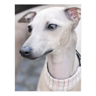 Whippet lindo postales
