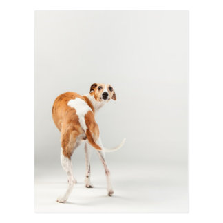 Whippet Postcards