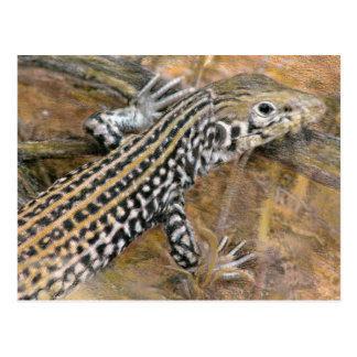 Whiptail Colored Pencil Drawing Postcard