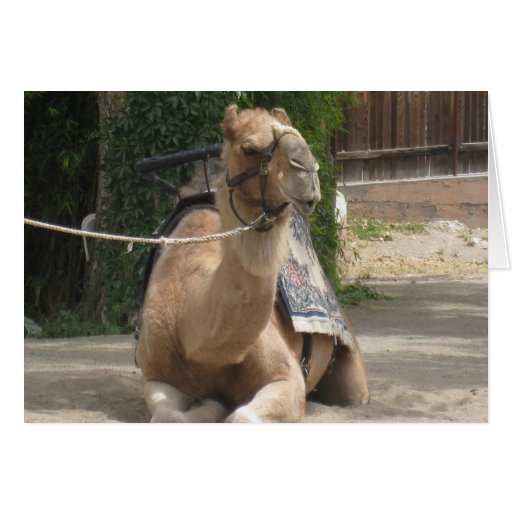 Whistling Camel Greeting Card