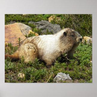 Whistling Marmot Photo Poster
