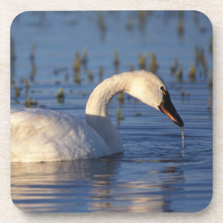 whistling swan, Cygnus columbianus, eating water Beverage Coasters