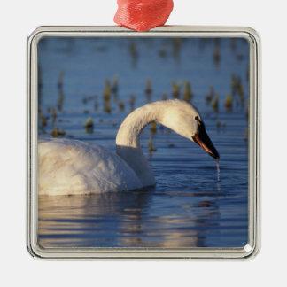whistling swan, Cygnus columbianus, eating water Square Metal Christmas Ornament