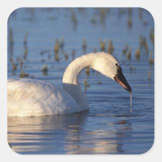 whistling swan, Cygnus columbianus, eating water Stickers