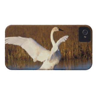 whistling swan, Cygnus columbianus, stretching iPhone 4 Covers