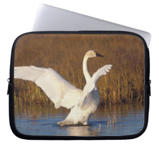 whistling swan, Cygnus columbianus, stretching Computer Sleeve