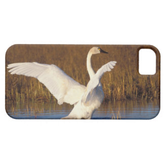 whistling swan, Cygnus columbianus, stretching iPhone SE/5/5s Case