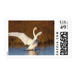 whistling swan, Cygnus columbianus, stretching Postage