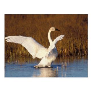 whistling swan, Cygnus columbianus, stretching Postcard