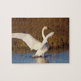 whistling swan, Cygnus columbianus, stretching Puzzle