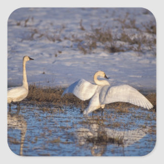 whistling swan, Cygnus columbianus, stretching Square Sticker