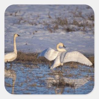 whistling swan, Cygnus columbianus, stretching Stickers