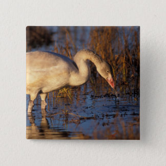 Whistling swan juvenile eating roots, 1002 button