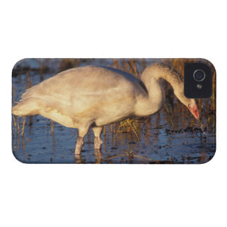 Whistling swan juvenile eating roots, 1002 blackberry case