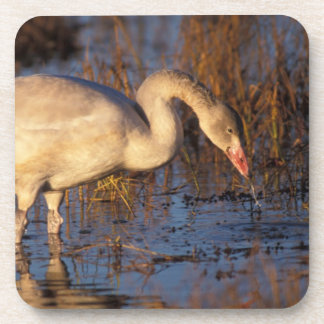 Whistling swan juvenile eating roots, 1002 beverage coasters
