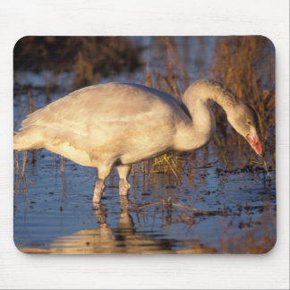 Whistling swan juvenile eating roots, 1002 mouse pad