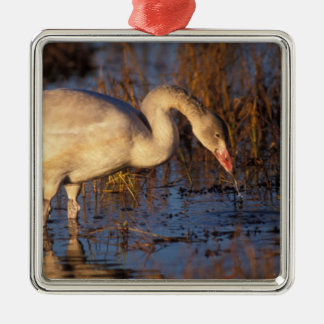 Whistling swan juvenile eating roots, 1002 square metal christmas ornament