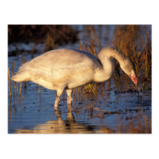 Whistling swan juvenile eating roots, 1002 postcard