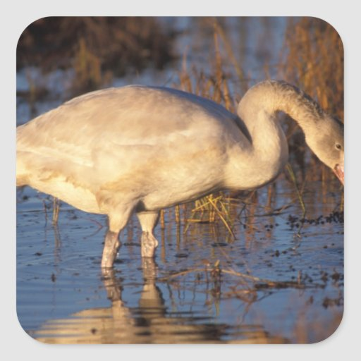 Whistling swan juvenile eating roots 1002 square sticker for Stickers juveniles