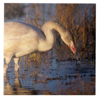 Whistling swan juvenile eating roots, 1002 ceramic tiles