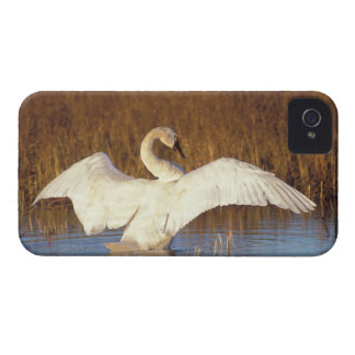 Whistling swan or tundra swan, stretching its blackberry bold cover
