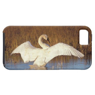 Whistling swan or tundra swan, stretching its iPhone SE/5/5s case