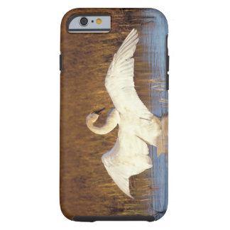 Whistling swan or tundra swan, stretching its iPhone 6 case
