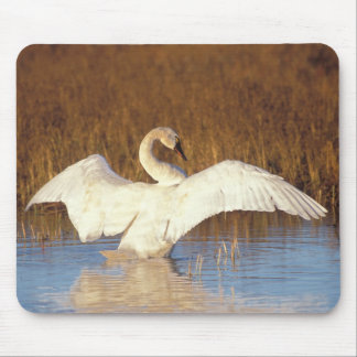 Whistling swan or tundra swan, stretching its mouse pad