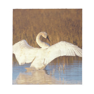 Whistling swan or tundra swan, stretching its note pad
