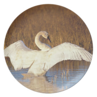 Whistling swan or tundra swan, stretching its plate