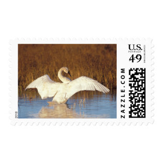 Whistling swan or tundra swan, stretching its postage