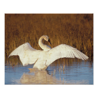Whistling swan or tundra swan, stretching its poster
