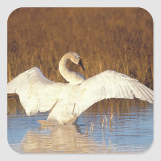 Whistling swan or tundra swan, stretching its square sticker