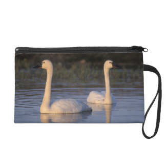 Whistling swan or tundra swan, swimming in the wristlet clutch
