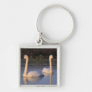 Whistling swan or tundra swan, swimming in the keychain