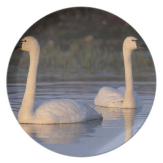 Whistling swan or tundra swan swimming in the party plates