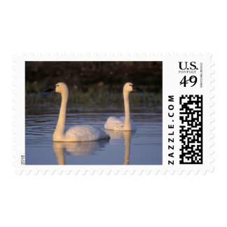 Whistling swan or tundra swan, swimming in the postage
