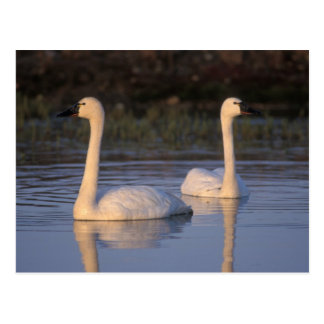 Whistling swan or tundra swan, swimming in the postcard