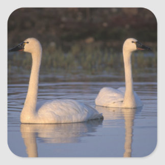 Whistling swan or tundra swan, swimming in the stickers