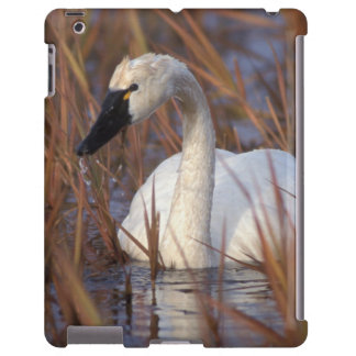 Whistling swan swimming in a pond, 1002 Coastal