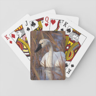 Whistling swan swimming in a pond, 1002 Coastal Card Deck