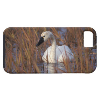 Whistling swan swimming in a pond, 1002 Coastal iPhone 5 Cases