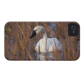 Whistling swan swimming in a pond, 1002 Coastal Blackberry Cases