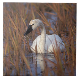 Whistling swan swimming in a pond, 1002 Coastal Ceramic Tile