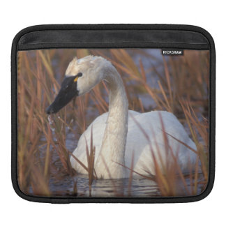 Whistling swan swimming in a pond, 1002 Coastal iPad Sleeve